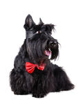 Dog in bow tie Stock Image