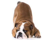 Dog bowing Stock Images