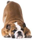 Dog bowing Stock Image
