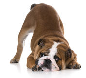 Dog bowing Royalty Free Stock Images
