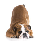 Dog bowing Royalty Free Stock Photography