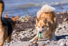 Dog bowing inviting to start a chase. Icelandic Sheepdog with toy in mouth bowing inviting other dog to start a chase Royalty Free Stock Image