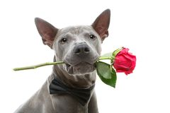 Dog in bowtie holding rose in mouth Royalty Free Stock Image