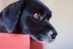 Dog in box. Profile closeup of a old black Cocker Spaniel dog sitting in a box Stock Image