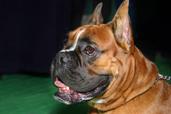 Dog - boxer Stock Image