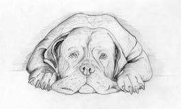 Dog boxer. Animal boxer dog recumbency, lead illustration Stock Image