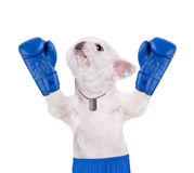 Dog boxer with big blue gloves. Stock Image