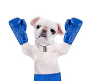 Dog boxer with big blue gloves. Royalty Free Stock Photo
