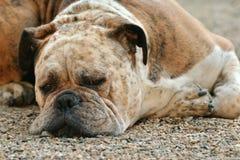 Dog, Boxer, Boxer Dog, Pet Royalty Free Stock Photography