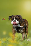 Dog, Boxer, German Boxer chasing butterfly on a meadow