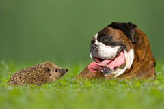 Dog / Boxer and hedgehogs Royalty Free Stock Photos