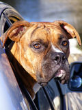 Dog: Boxer looking out of car window. Boxer looking out of car window with determined look on his face Royalty Free Stock Images