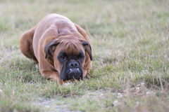 Dog boxer young puppy while sitting on green grass Stock Photography