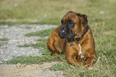 Dog boxer young puppy while sitting on green grass Royalty Free Stock Images