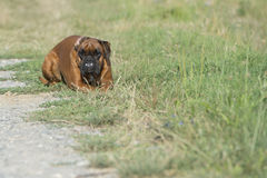 Dog boxer young puppy while sitting on green grass Royalty Free Stock Photo