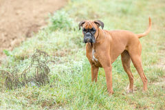 Dog boxer young puppy while sitting on green grass Royalty Free Stock Image