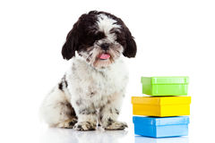 Dog with  boxes isolated on white background, gift Stock Photo