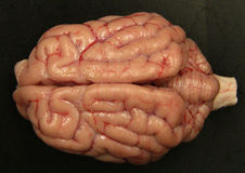 Dog Brain. Normal dog brain dissected to show the major area including the cerebral cortex, cerebrum and brainstem Royalty Free Stock Photo