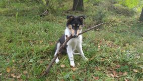 Dog with branch Collie Nature Outside. Dog with branch Royalty Free Stock Photos