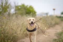 Dog with a branch royalty free stock photography