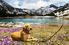 Dog With a Branch Next to a Mountain Lake Royalty Free Stock Image
