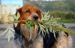 The Dog with branch wormwood. Stock Photos