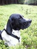 Dog braque d'auvergne Stock Image