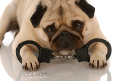 Dog breaking the law. Pug laying down with handcuffs and keys Stock Photos