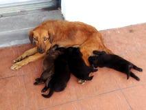 Dog Breastfeeding. Female dog its puppies breastfeeding Royalty Free Stock Image