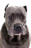 Dog breed Royalty Free Stock Image