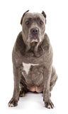 Dog breed Royalty Free Stock Photography
