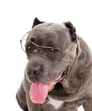 Dog breed Royalty Free Stock Photo
