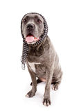 Dog breed Stock Photography