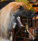 Dog breed Afgan yawns Royalty Free Stock Images