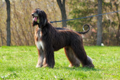 Dog breed Afghan Hound stands Stock Images