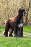 Dog breed Afghan Hound stands Royalty Free Stock Photography