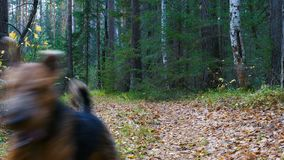 A dog breed Airedale Terrier runs along the path in the coniferous and birch forest. Autumn time stock video