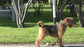 Dog breed Airedale terrier. Waiting for his master stock video footage