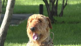 Dog breed Airedale terrier. Waiting for his master stock footage