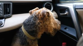 Dog breed Airedale Terrier is waiting for the owner in the car. Dog breed Airedale terrier waiting for the owner in the front seat of the car stock footage
