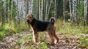 Dog breed Airedale Terrier walks in the woods. Dog breed Airedale Terrier walks in the autumn birch forest stock footage