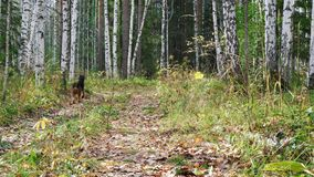 Dog breed Airedale Terrier walks in the woods. Dog breed Airedale Terrier walks in the autumn birch forest stock video footage