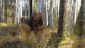 Dog breed Airedale Terrier walks in the woods. Dog breed Airedale Terrier walks in the autumn birch forest. Sunny clear weather stock video
