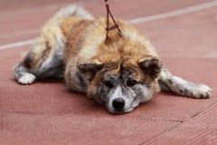Dog breed Akita Inu Stock Images