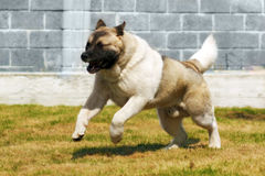 Dog breed Akita inu, quickly galloping runs Royalty Free Stock Photography