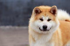 Dog breed Akita Inu Royalty Free Stock Photos