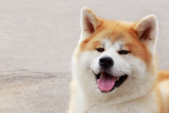 Dog breed Akita Inu Stock Photos