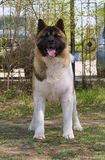 Dog breed Akita stands in the spring against the trees of cars royalty free stock images