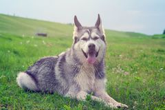 The dog breed an alaskan malamute. Lies on a field on a green grass in the summer, processed by a preset, thoroughbred, beautiful and furry dog Royalty Free Stock Photos