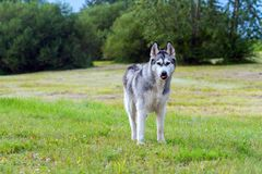 The dog breed an alaskan malamute. In the small birch wood, looks afar, fluffy gray and white wool,  the blue sky is visible through trees, wet Royalty Free Stock Photos